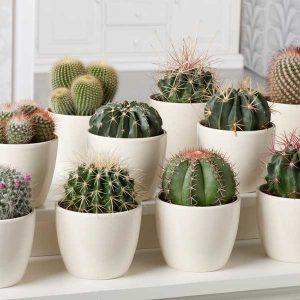 Cactus_14259848