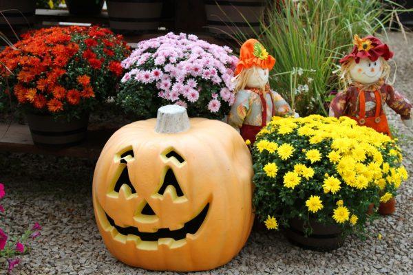 crisantemos hallowen